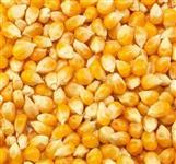 Milho Norte Goias