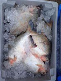 Pescados (Tambaqui, Pintado)