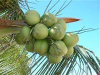 Coco verde de Rodelas