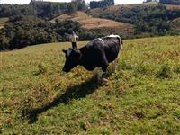 Vaca Holandesa pura, filha de inseminação artificial.