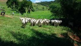 50 Vacas de primeira cria