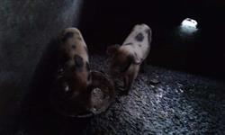 6x porcos