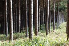 20 Mil pés de Pinus