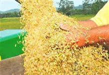 Palha de arroz