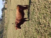 Vendo 2 touro   red angus