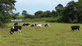 Vacas de leite em Lactação