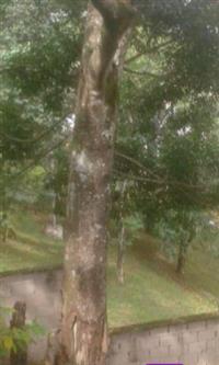Vendo madeira de jacarandá