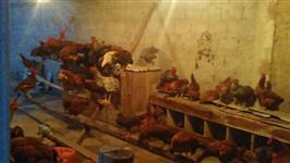 Vendo ovos de galinha Caipira