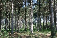 Madeira de Pinus e Eucaliptos