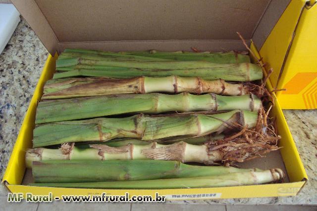 CAPIM GUATEMALA - Forrageira resistente , nutritiva e grande produtividade