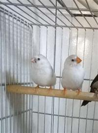 Pássaro Mandarim