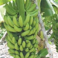 Banana Prata de Juazeiro Bahia e Petrolina Pernanbuco