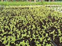 mudas de hortalicas