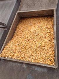 Milho p/ mercado interno e exportação, #1 GMO R$ 35,10 p/ retirar