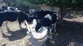Novilhas otimas Troco Por gado leiteiro