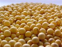 Estamos comprando soja gmo2 em grandes quantidades para exportaçao, pagamento a vista!!!!!!!