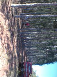 Floresta de Eucalipto Citriodora de 7 anos em pé (20 hectares)