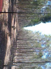 Floresta de Eucalipto Citriodora de 8 anos em pé (20 hectares)