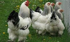 Ovos Galados de Ótima Qualidade