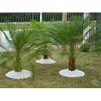 muda palmeira fenix 45 cm