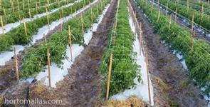 Procuro investidor plantaçao de tomate