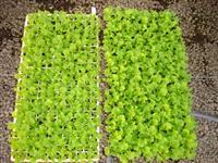 Bandeja com 200 mudas hortaliças
