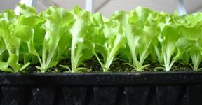 Bandejas com Mudas de hortaliças