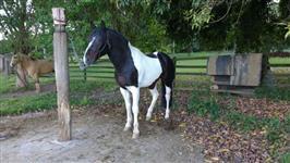 Vende-se cavalo crioulo (cuiudo)