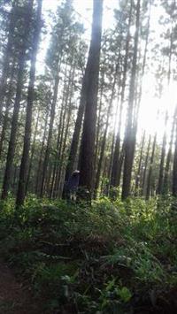 vendo plantacao de pinus