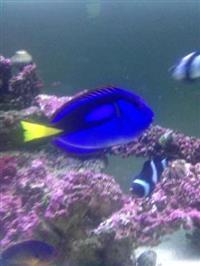 Peixe Marinho Blue Tang Hepatus Dori  Pq  Seis Cm