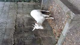 Mini Cabra Branca