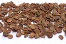 sementes de jenipapo