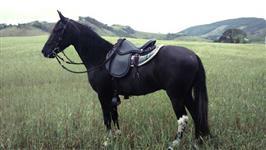 Cavalo Manga Larga Marchador Registrado