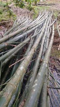 Vendo Bambu