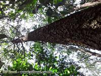 Vende-se floresta 2000 árvores de Acácia Mangium em pé, 4 anos e altura media 10 metros
