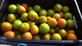 Venda tomate