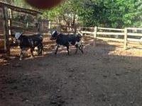 Casal de mini vacas girolando
