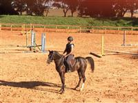 Cavalo Árabe (PSA) - Hipismo