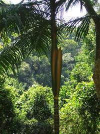 Sementes de Palmeira Juçara Jussara 1 Kg