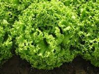 Verduras direto da roça