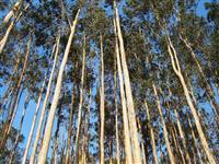 Venda de Eucaliptos Citriodora
