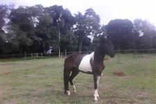 égua pampa de preto