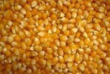 Sementes de milho 30a37 e 390
