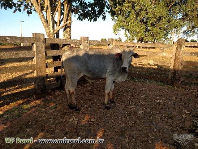 Vendo Vacas e Novilhas NELORE P.O.