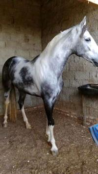 Cavalos Mangalarga Mineiro e Paulista