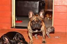 Bulldog Francês padreador com pedigree CBKC disponível para cobertura