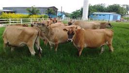 Vede-se 60 cabeça de vacas Jersey