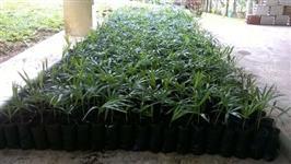 Palmeira Jussara