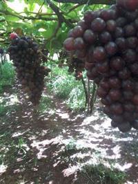 Uvas finas de mesa com alto padrão de qualidade