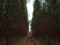 Madeira Eucalipto lenha ou beneficiamento